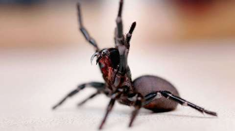 سمیترین عنکبوتهای استرالیا