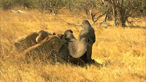 خوردن بچه فیل زنده توسط شیرها