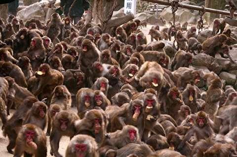 حمله میمونها به زاهد هندی