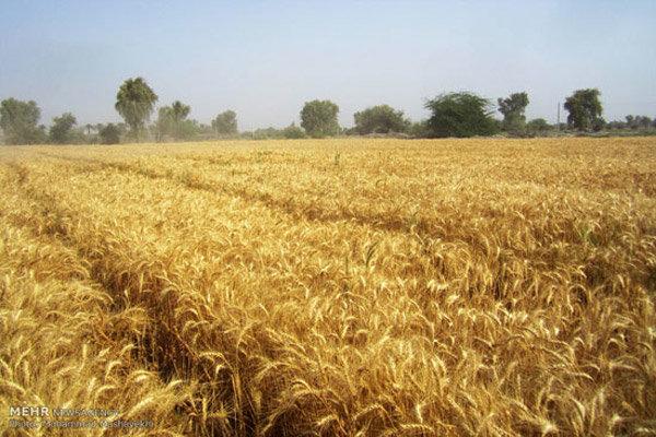 گندم مازاد دردسرساز می شود