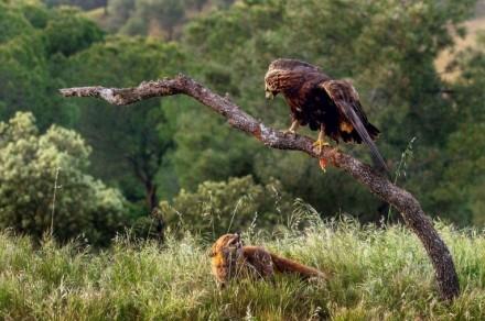 جنگ عقاب طلایی با یک روباه
