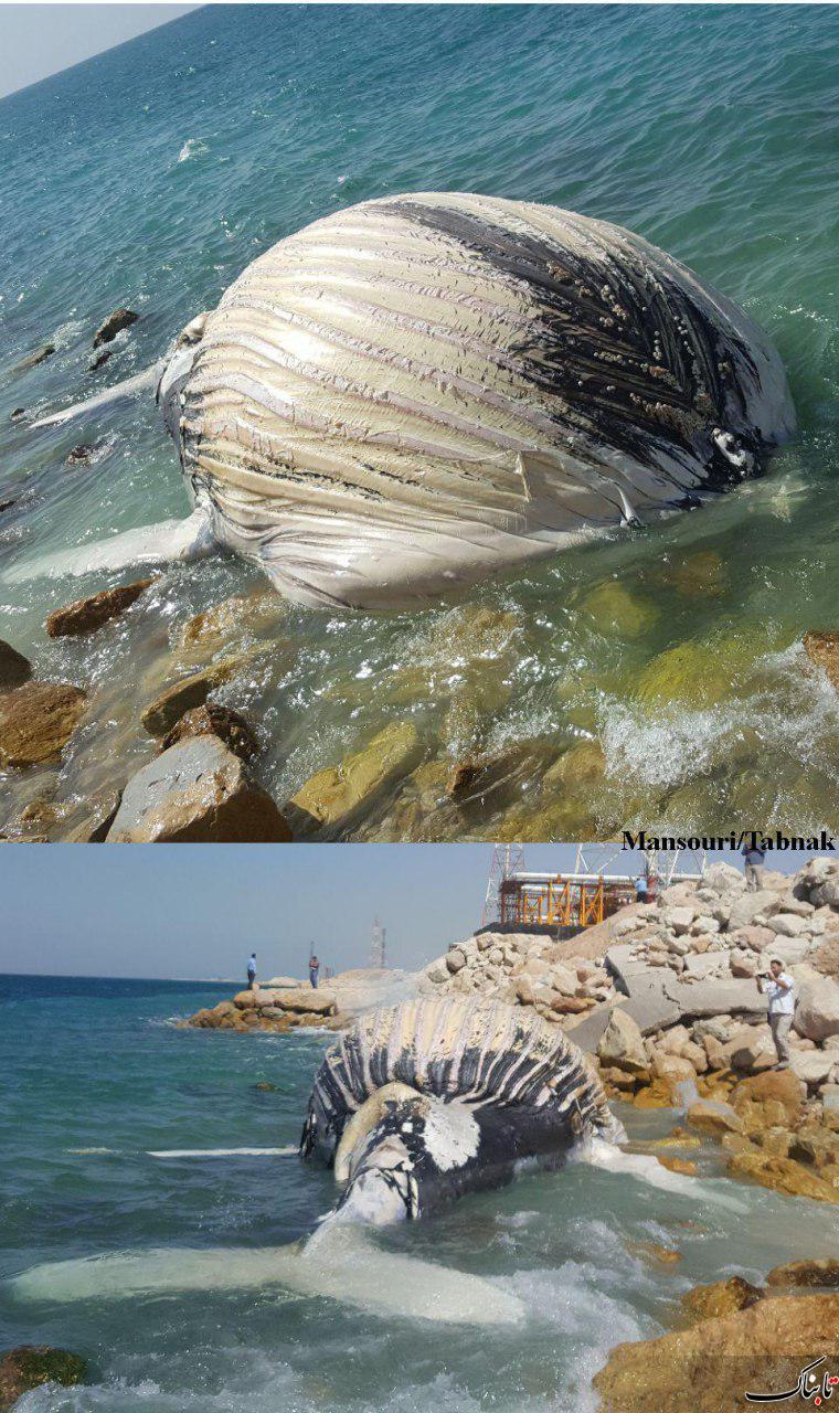 لاشه یک وال مرده سواحل نزدیک کنگان