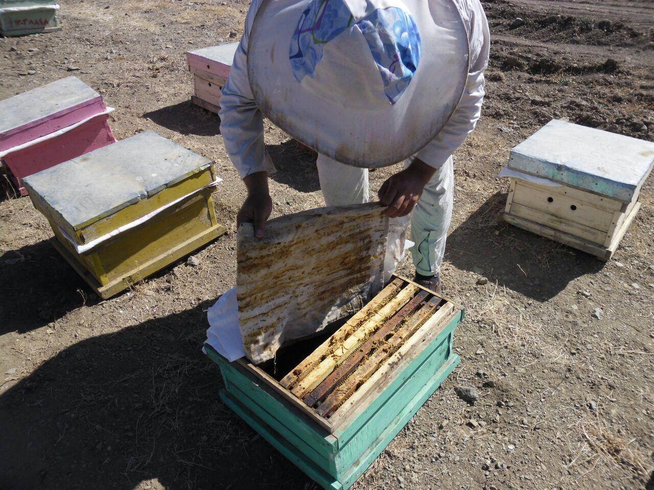 شهد شيرين كارآفريني با پرورش زنبور عسل در كردستان