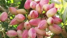 پسته؛ ارزآورترین محصول کشاورزی ایران به ۱۰ کشور صادر می شود