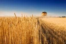 فائو: تولید گندم ایران امسال ۲۵ درصد بیش از میانگین ۵ سال اخیر میشود