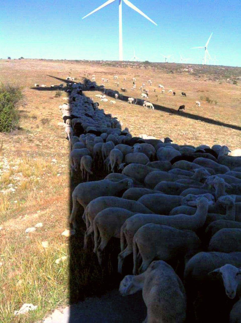 فرار گوسفندان از گرما