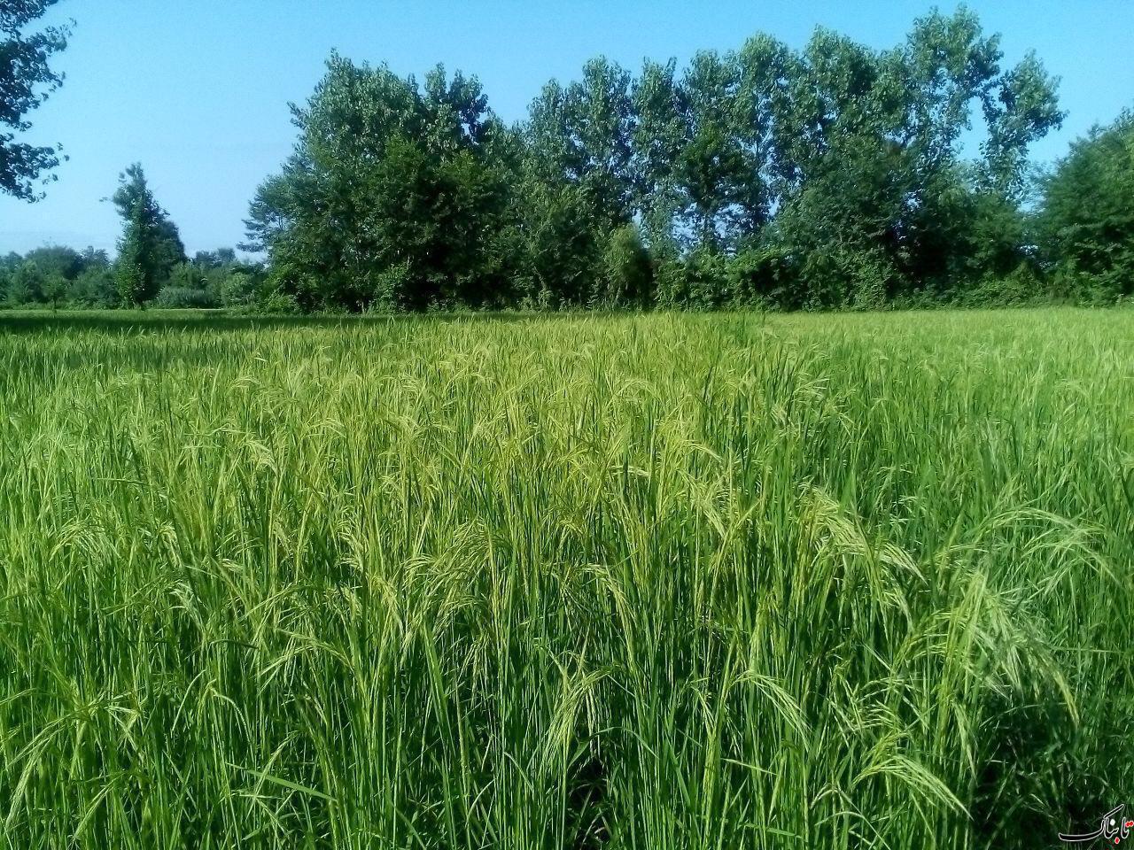 خوشه زدن مزارع برنج,سياهكل,روستاي بيدرون