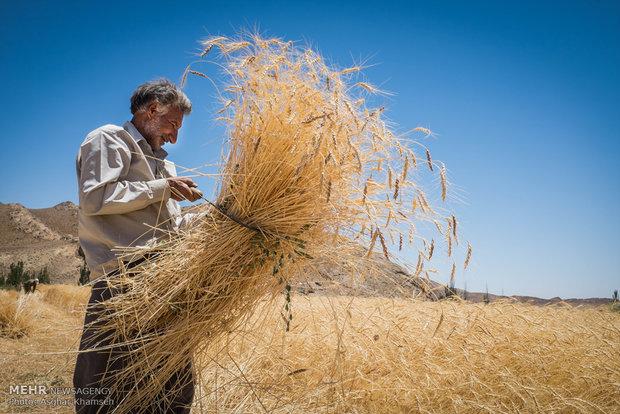 بخش خصوصی گندم کشاورزان را می خرد