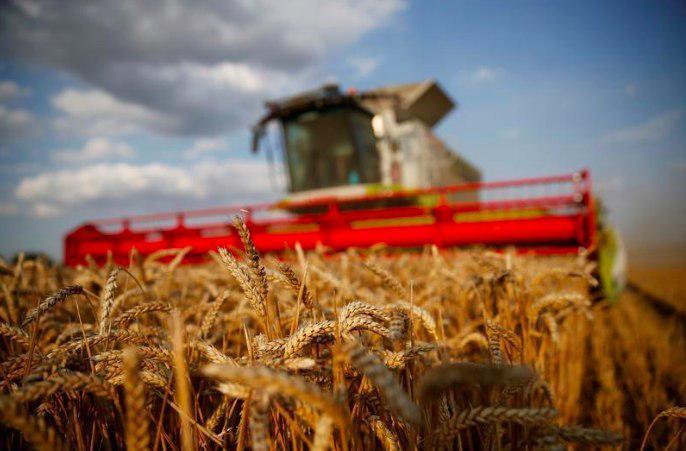 مصر ممکن است محموله گندم فرانسوی را به دلیل وجود دانههای سمی در آن مرجوع کند