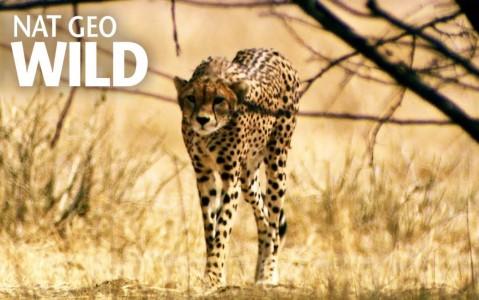 عملیات عنترها علیه شکار یوزپلنگ