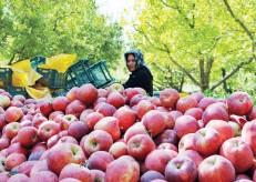 سیب صادراتی شش برابر ارزانتر از بازار داخلی