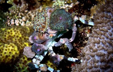 خرچنگ دکوراتور و خوشتیپی برای بقا