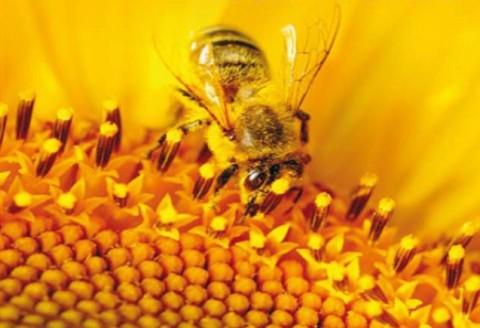زندگی پیچیده زنبورهای عسل
