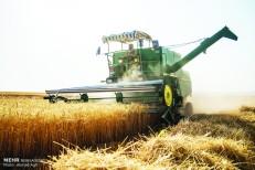 خودکفایی گندم در معرض تهدید/ کاهش ۴۰ درصدی سطح زیرکشت گندم/ بذر کیلویی ۲۰۰ تومان گران شد