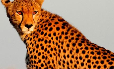 پنج دانستی راجع به یوزپلنگها