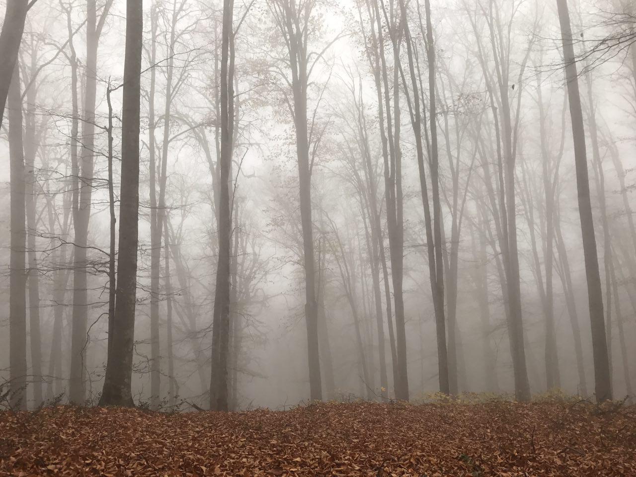 جنگل راش سنگده مازندران