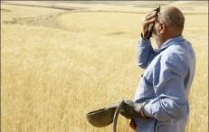 اجرای ناقص قانون خرید تضمینی گندم خطری برای امنیت غذایی کشور