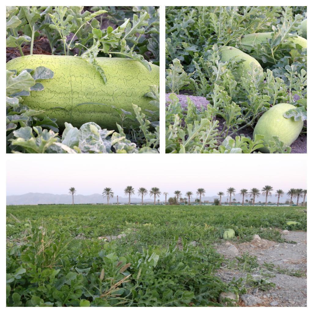 مزارع آماده برداشت هندوانه شب یلدا در هشتبندی
