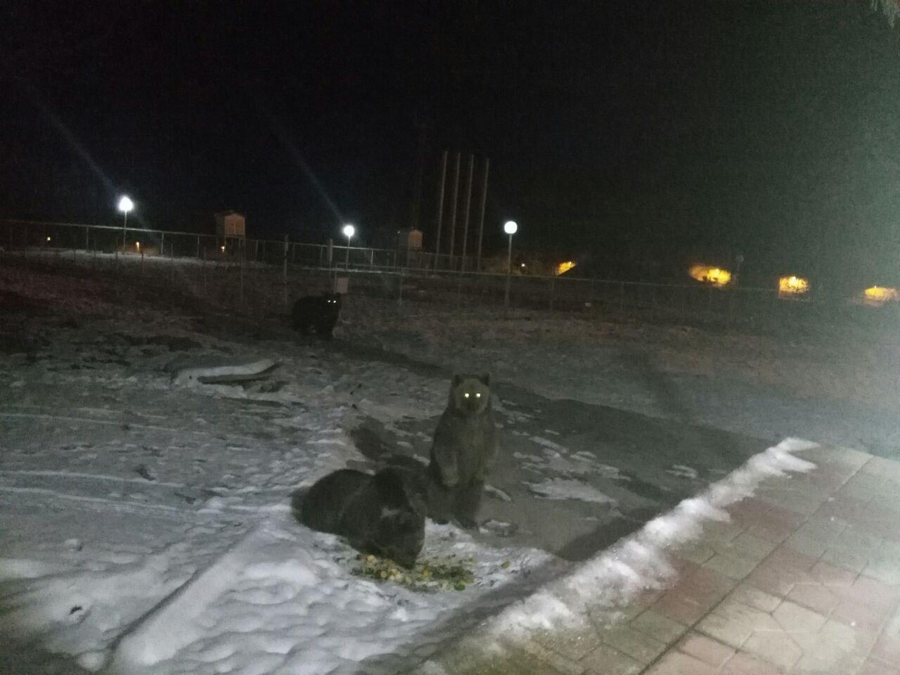 مشاهده خرس مادر و دو بچه اش در محور کندوان