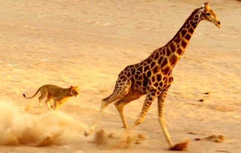 حمله هماهنگ شیرها به زرافه