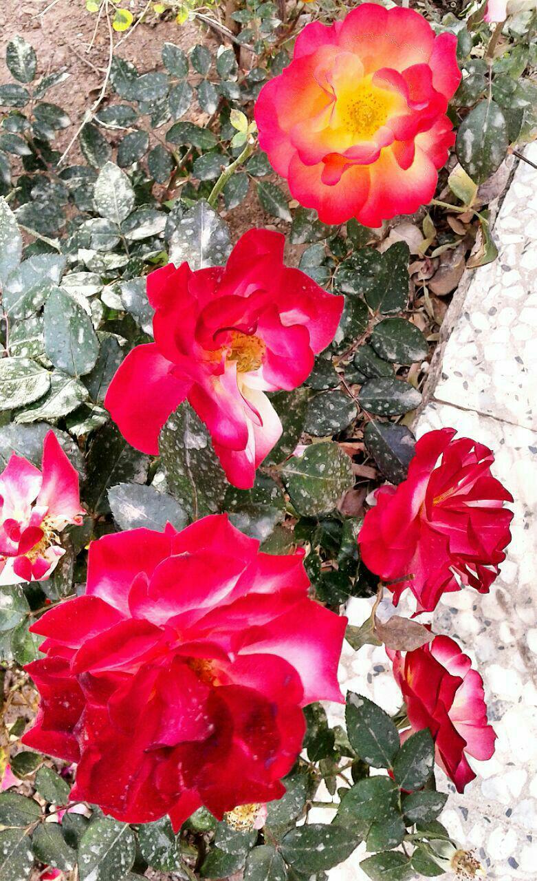 شکفتن بوته های گل رز در قزوین
