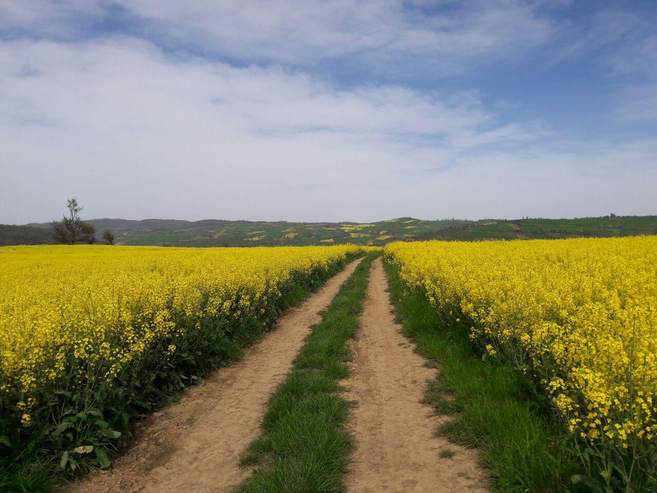 تصاویر مزارع کلزا روستای لاکتراش استان مازندران