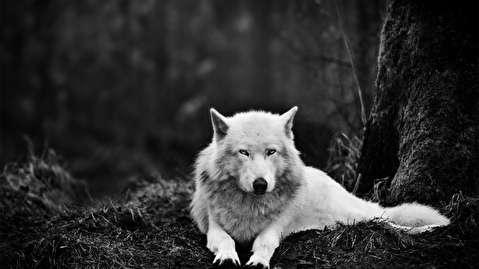 انقراض گرگهای وحشت
