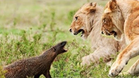 مبارزه جسورانه شکار با شکارچی