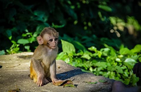 میمونهای سوایامبونات از نمای نزدیک