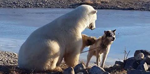 دوستی غیرمنتظره خرس قطبی و سگ سورتمه