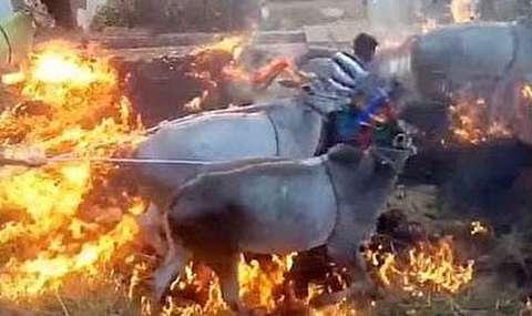 جشن عجیب هندیها با پرش گاو از آتش
