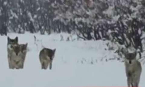 دسته گرگها در میان برفهای خرم دره