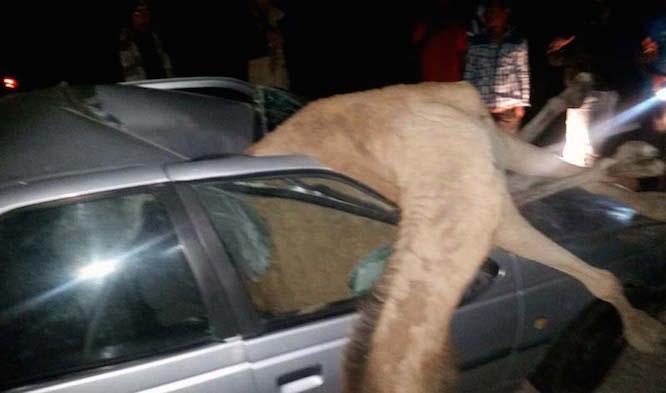 برخورد مرگبار پژو با شتر در جاسک