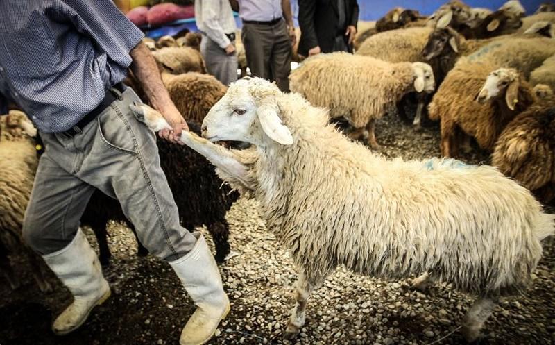 قاچاق دام گوشت گرانی گوسفند