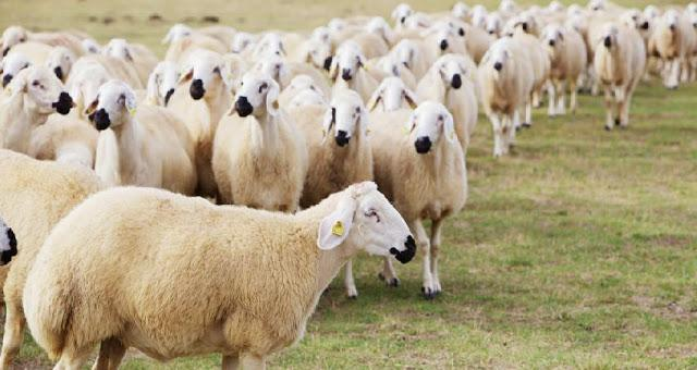 واردات هفتهای ۵۰ هزار راس گوسفند زنده/ سیگنال گرانی گوشت از چوبدارهای مناطق مرزی/ آیا واردات دام زنده، صفهای شلوغ خرید گوشت را خلوت میکند؟
