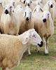 واردات هفتهای ۵۰ هزار رأس گوسفند زنده/ سیگنال گرانی...
