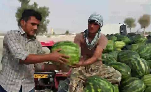 کاشت هندوانه در مناطق کمآب هرمزگان
