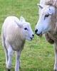 ماجرای گم شدن ۹۲۷ گوسفندی که با هواپیما آمدند چه بود؟ / پیش بینی بانک آمریکایی از نفت ۷۰ دلاری/ رتبه ایران در جهان باتوجه به برابری قدرت خرید/ واردات دامهای کالمیکیا برای تنظیم بازار گوشت