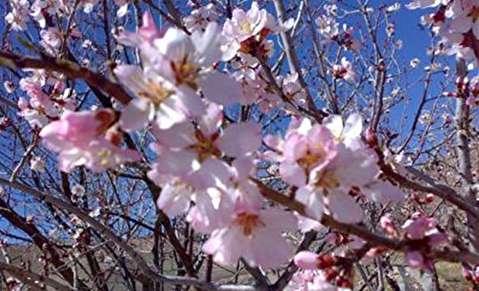 شکوفه زدن درختان در میانه زمستان