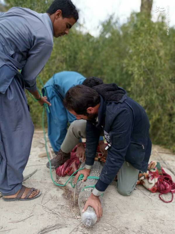 زندهگیری تمساح سرگردان در سیستانو بلوچستان