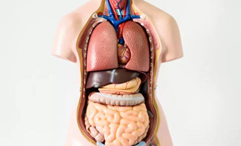 چرا بدن انسان نامتقارن است؟