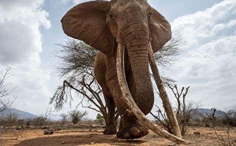 ملکه فیلها آخرین بازمانده از نسل ماموتها