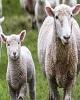 افزایش ذخایر طلای چین با هدف کاهش سلطه دلار/ ٥٠  هزار رأس گوسفند زنده با کشتی وارد کشور شد/ صادرات سیب و پرتقال تا اطلاع ثانوی ممنوع/ کاهش قیمت طلا همزمان با توقف ریزش دلار