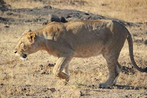 نبرد ماده شیر با گروه کفتارها بر سر شکار