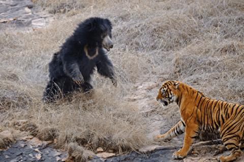 نبرد خرس تنبل و ببر بنگال