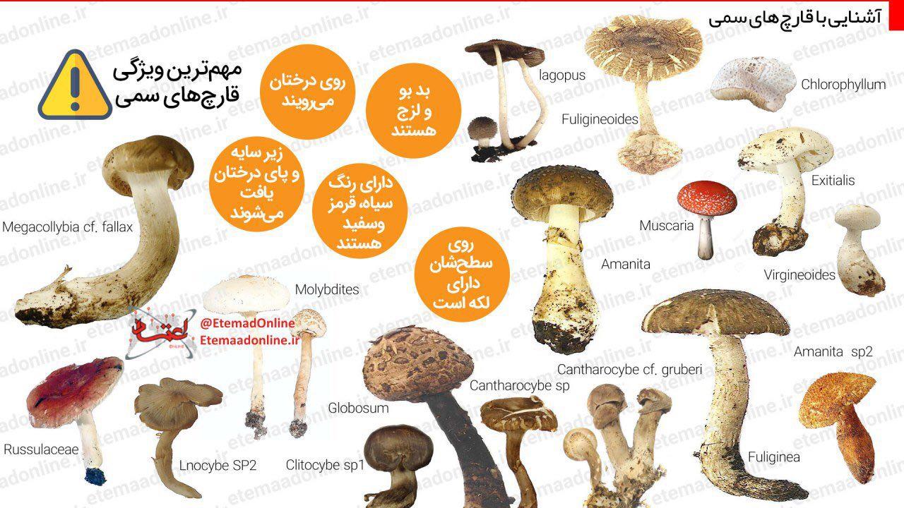 اینفوگرافیک: قارچهای مرگبار را بشناسید