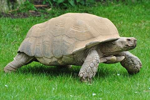 لاکپشت زمینی خوششانس