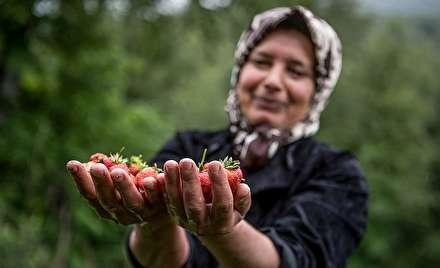 برداشت توتفرنگی در ارتفاعات استان گیلان