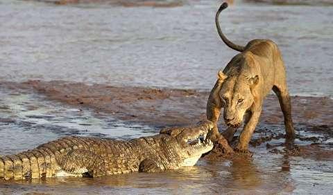 شکار شیرها و نبرد با تمساحها