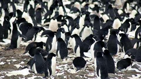 کلونی میلیونی پنگوئنهای آدلی